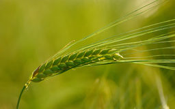 Oído verde del trigo Imágenes de archivo libres de regalías