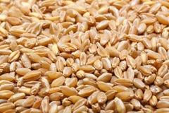 Oído y grano del trigo foto de archivo libre de regalías