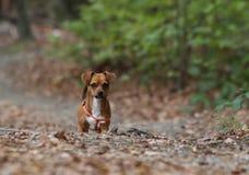 Oídos abajo/pequeño perro en parque Imágenes de archivo libres de regalías