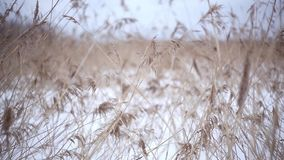 Oídos amarillos de la hierba que se sacuden en el viento en el tiempo soleado de la nieve del invierno del campo almacen de metraje de vídeo