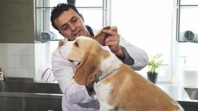 Oídos de examen del veterinario de sexo masculino profesional del perro lindo del beagle metrajes