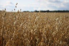 Oídos de la avena Campo antes de la cosecha fotografía de archivo
