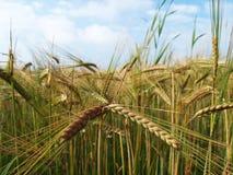 Oídos de la cebada que maduran en un campo asoleado Imágenes de archivo libres de regalías