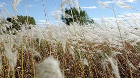 Oídos de la hierba amarilla en el fondo del bosque del otoño y del cielo azul almacen de metraje de vídeo