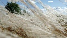 Oídos de la hierba amarilla en el fondo del bosque del otoño y del cielo azul metrajes