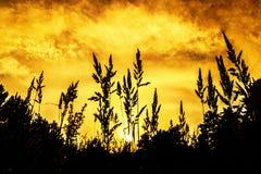 Oídos de la hierba contra el cielo de la puesta del sol fotografía de archivo
