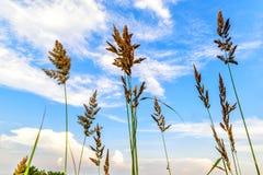 Oídos de la hierba contra un cielo azul con las nubes Foto de archivo