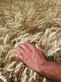 Oídos de la mano y del trigo del hombre Imágenes de archivo libres de regalías
