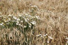 Oídos de la manzanilla y del trigo Foto de archivo libre de regalías