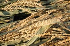 Oídos de maíz Fotos de archivo