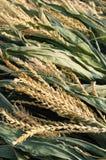 Oídos de maíz foto de archivo libre de regalías