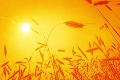 Oídos de maíz contra el sol de levantamiento Foto de archivo libre de regalías