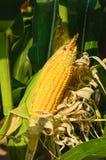 Oídos de maíz en el tallo Imágenes de archivo libres de regalías