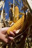 Oídos de maíz en tallo foto de archivo