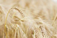 Oídos de oro de la cebada Fotografía de archivo libre de regalías