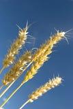 Oídos de oro del grano de un trigo Foto de archivo libre de regalías