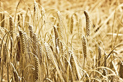 Oídos de oro del trigo Fotografía de archivo
