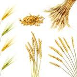 Oídos de oro del trigo aislados en el fondo blanco Foto de archivo libre de regalías