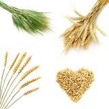 Oídos de oro del trigo aislados en el fondo blanco Imagen de archivo