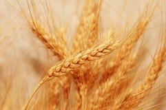 Oídos de oro del trigo con bajo fotografía de archivo libre de regalías