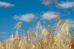 Oídos de oro del trigo contra el cielo azul foto de archivo libre de regalías