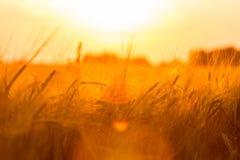 Oídos de oro del trigo en el campo Fotografía de archivo libre de regalías
