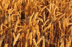 Oídos de oro del trigo en sol de la tarde foto de archivo