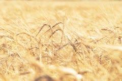 Oídos de oro del trigo maduro Fotografía de archivo