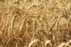 Oídos de oro maduros del grano del trigo en los campos de la región de Saratov Agricultura Foto de archivo libre de regalías