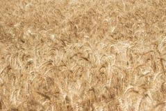 Oídos de oro maduros del grano del trigo en los campos de la región de Saratov Agricultura Imágenes de archivo libres de regalías