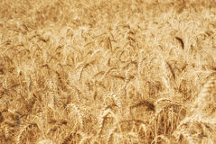 Oídos de oro maduros del grano del trigo en los campos de la región de Saratov Agricultura Fotografía de archivo libre de regalías