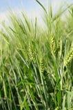 Oídos de trigo verdes contra el cielo azul Fotografía de archivo