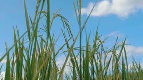 Oídos del arroz en el campo del arroz Primer de semillas descascaradas secas en la planta de arroz contra el cielo azul con las n metrajes