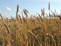 Oídos del campo de la cosecha del trigo Imagen de archivo