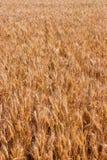 Oídos del campo de trigo Imagenes de archivo