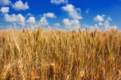 Oídos del campo de trigo Fotografía de archivo libre de regalías