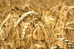 Oídos del campo de trigo Foto de archivo