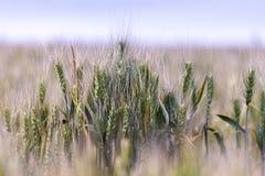 Oídos del campo de trigo Oídos de maduración del campo de trigo con el fondo borroso imagenes de archivo