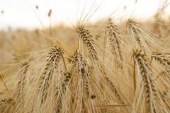 Oídos del cierre de oro del trigo para arriba fotos de archivo libres de regalías