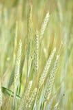 Oídos del grano Imagen de archivo libre de regalías