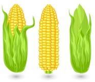 Oídos del maíz maduro ilustración del vector