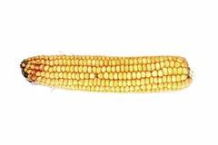 Oídos del maíz maduro aislados Imagen de archivo