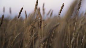 Oídos del oro del trigo en el campo almacen de metraje de vídeo