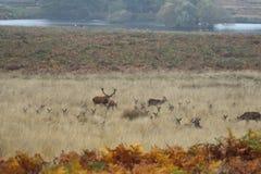 Oídos del ` s de Richmond Park Stags y de los ciervos fotos de archivo