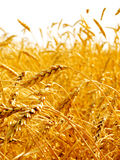Oídos del trigo. Imagen de archivo