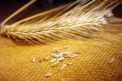 Oídos del trigo Imagen de archivo