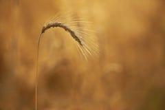 Oídos del trigo foto de archivo