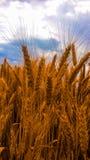 Oídos del trigo Imágenes de archivo libres de regalías