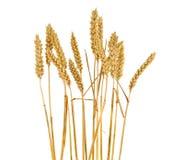 Oídos del trigo aislados Foto de archivo libre de regalías