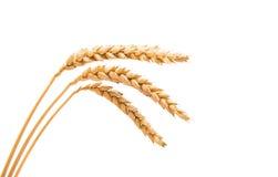 Oídos del trigo aislados Imágenes de archivo libres de regalías